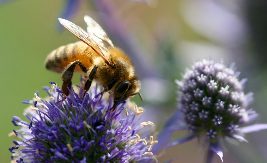 A honeybee feeding on a purple inflorescence (possibly an Echinops species)