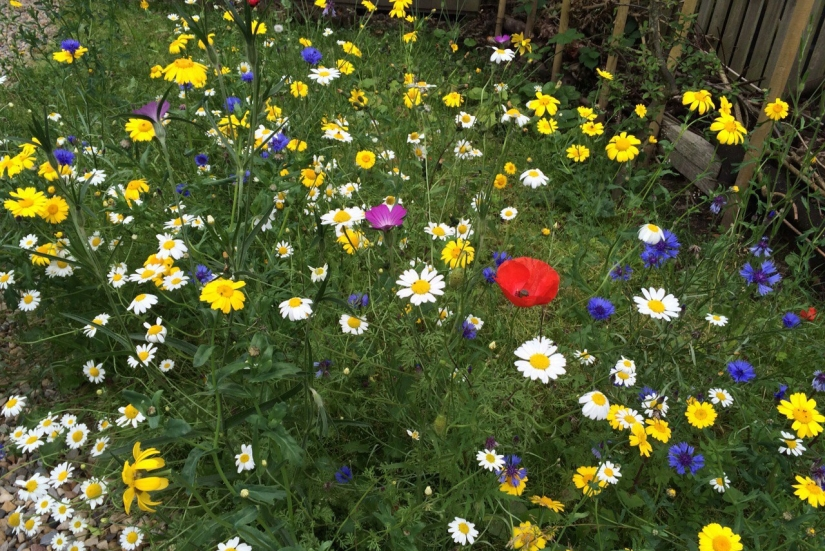A mixture of wildflower including corncockles, cornflowers, ox eye daisies and poppies. Highly diverse flowering area.