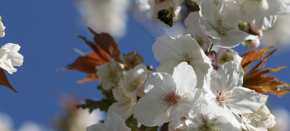 A bumblebee flying towards a mulberry tree in flower.
