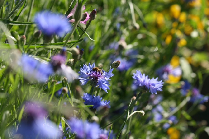 A bee feeding on a cornflower in the middle of diverse grassland, with many other flower species visible in the background.