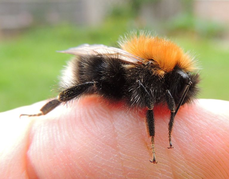 768px-Male_bumblebee_(Bombus_hypnorum)_on_a_finger,_Sandy,_Bedfordshire_(9201092401)
