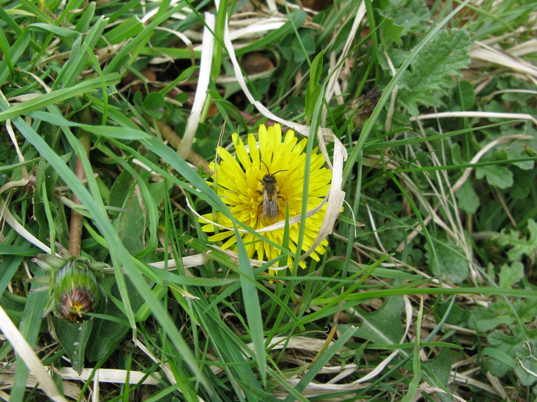 Andrena on taraxacum, Powerscourt Waterfall May 2010