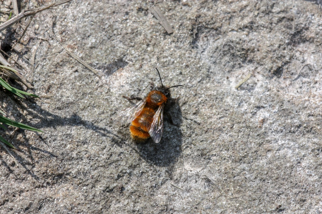 Andrena fulva female - Black Down, Mendips