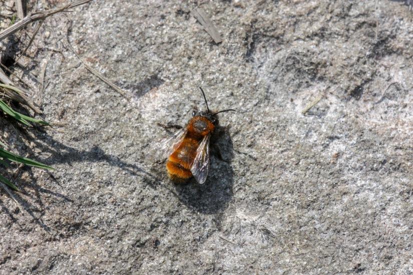 Andrena fulva female - Black Down, Mendips
