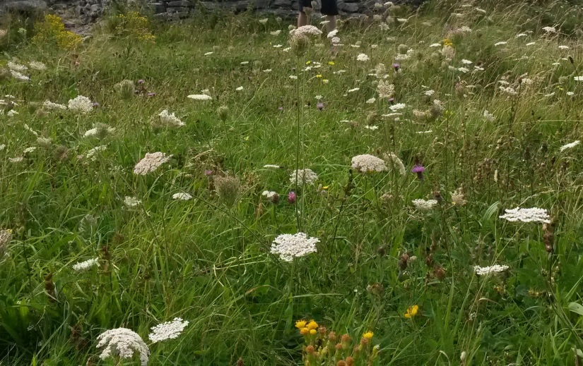 aran_islands_wild_flowers.jpg