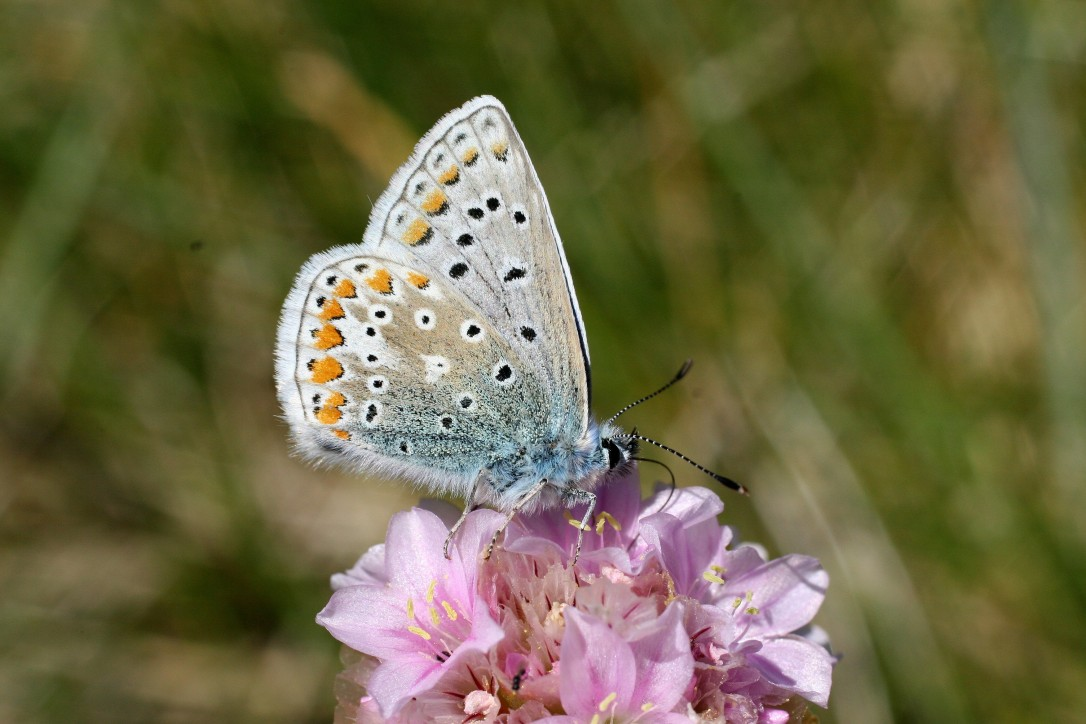 Common Blue (Liam Lysaght)