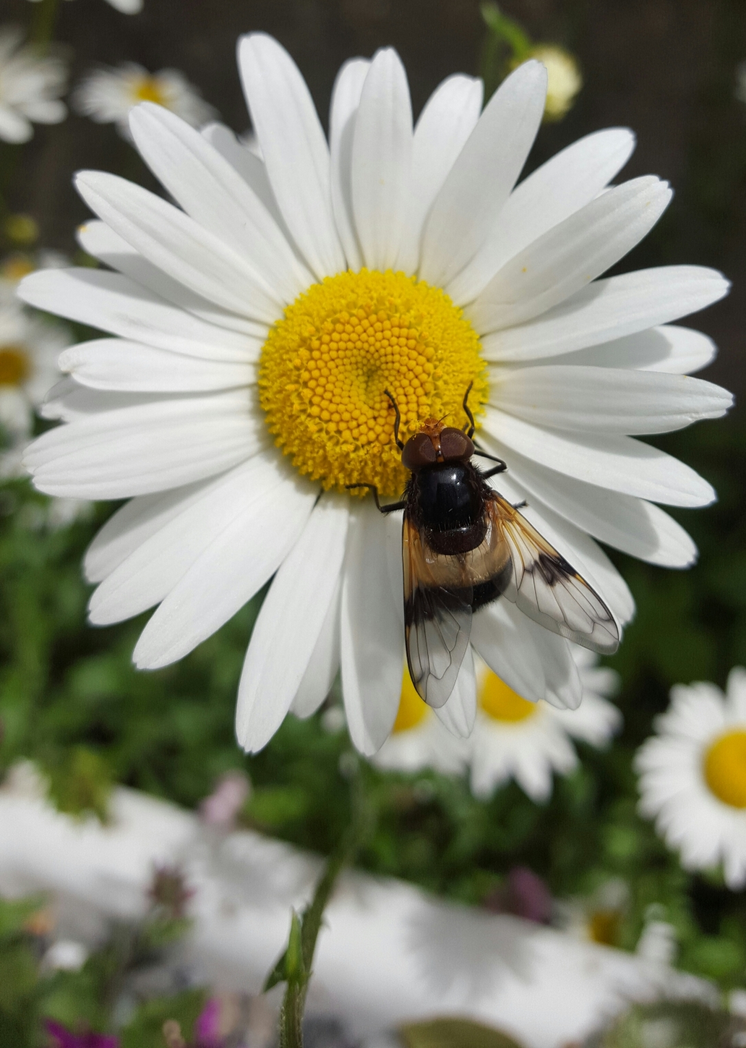 Volucella pellucens on Dog Daisy_Rosaleen Dwyer