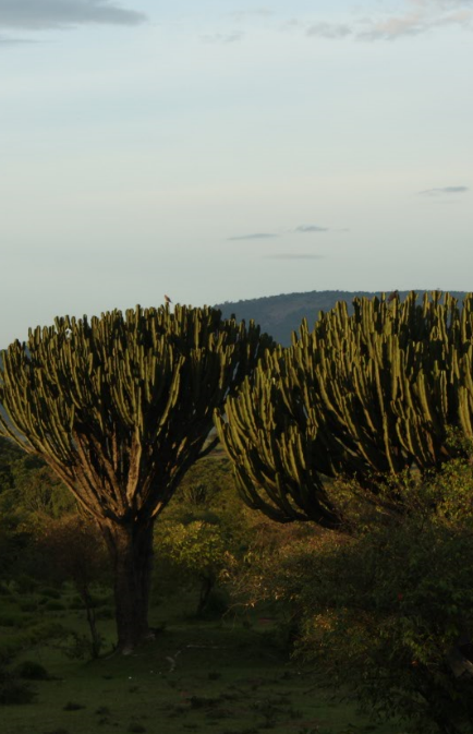 Figure 2 Euphorbia candelabrum in Kenya and