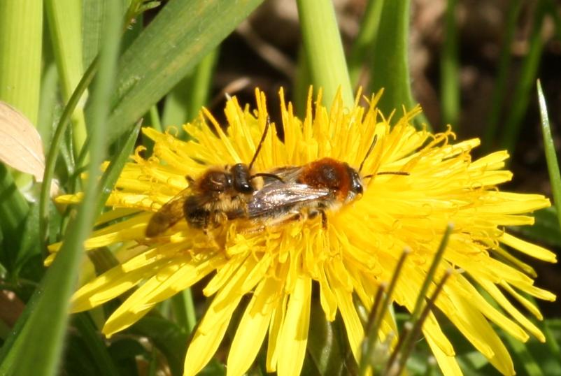 laura mining bees 1