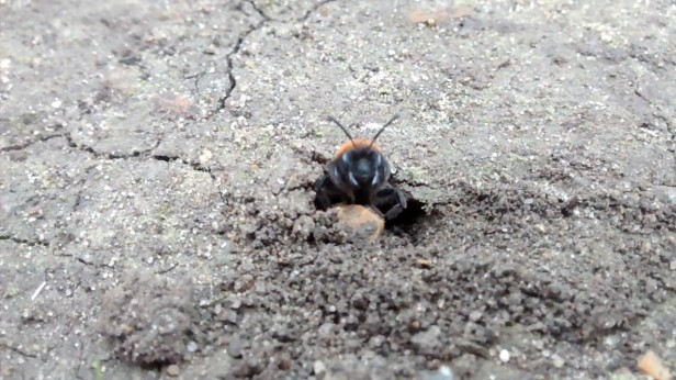 solitary ground nesting bee