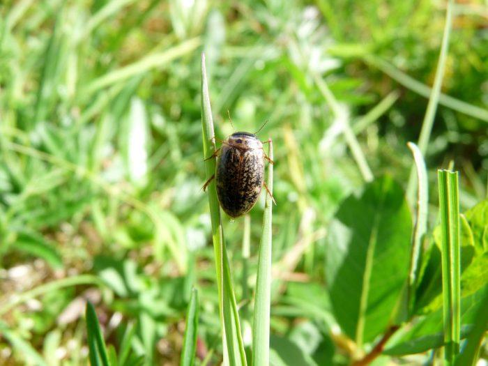 ADelaney_beetle-700x525